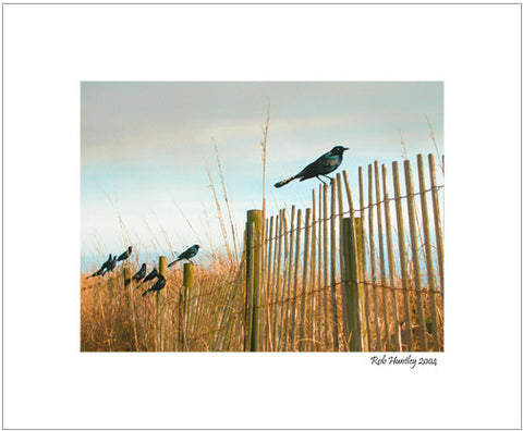 Grackles on sand dune fence. Pawleys Island, South Carolina.