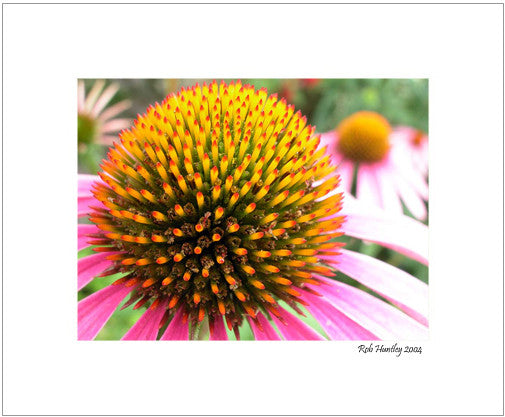Matted Print - Beautiful symmetry and detail can be seen when you get up close to a blooming purple cone flower. Otherwise known by it's scientific name Echinacea, the plant is used in herbal medicines.