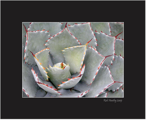 Matted Print - Close-up of an agave desert plant with red-tipped spines and teeth.