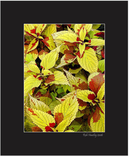 Matted Print - Close-up of coleus leaves.