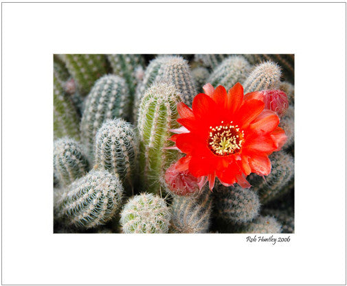 Matted Print - a cactus plant with orange flowers.
