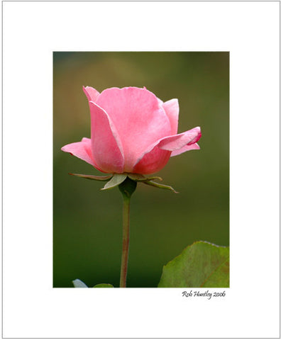 Pink Rose - 8x10 Matted Print.