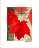 Matted Print - Maple Leaf Display is a close-up photograph of bright red maple leaves which has has had custom digital alterations to produce this pleasing effect.