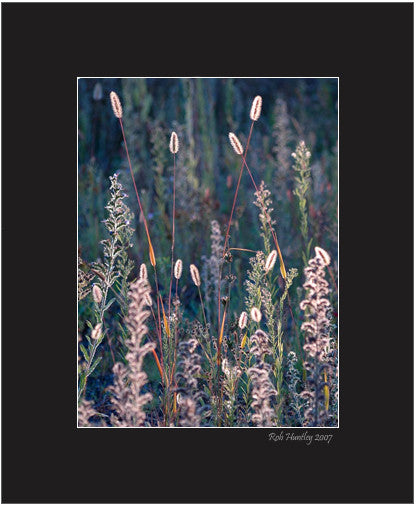 Matted Print - Strongly backlit grasses and wild flowers stand out against the shade of the meadow in the background. The seed heads of the the grasses provide a strong focal point for this photograph.