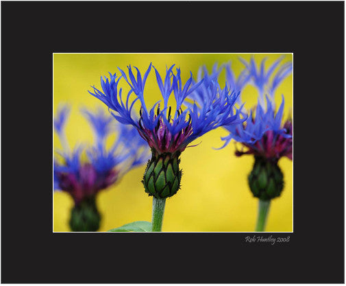 Matted Print - Blue Bachelor's Buttons flowers with a yellow background. The background is out-of-focus ground cover called Creeping Jenny.