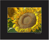 Sunflower Near Pierre South Dakota - 8x10 Matted Print