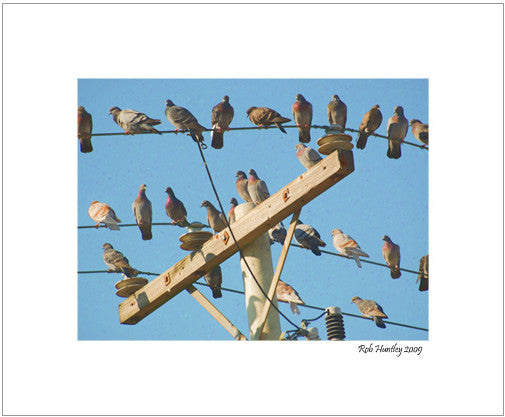"Pigeons are notorious for gathering on telephone wires. This telephone pole was conveniently beside a parking garage and I was on the top floor. They would periodically fly off in a group, do a wide circle and return to their observation post. 8"" x 10"" matted print."