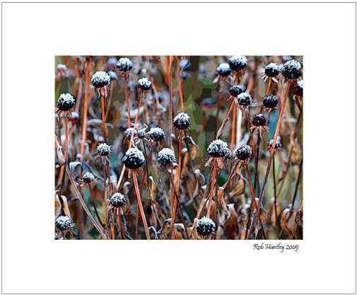 Matted Print - These were Black-eyed Susans (Rudbeckia) believe it or not. The seed heads have a light dusting of frost in the early morning.