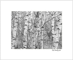 Birch forest - 8 x 10 matted print.