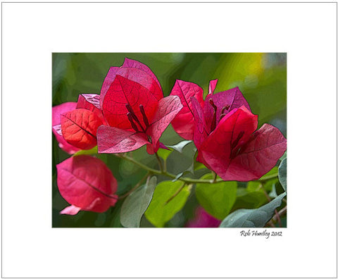 Matted Print - Bouganvillea flowers photographed against a green background with the lines of the flowers enhanced digitally. This Bougainvillea bush was at Casa Candiles, Ixtapa, Mexico.