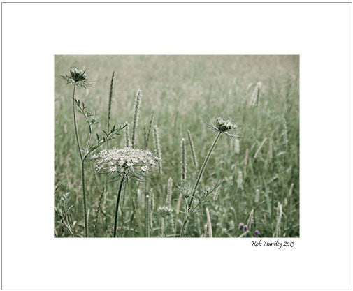 White flower in a meadow - 8x10 Matted Print