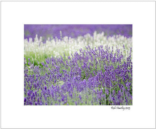 Lavender 4 - 8x10 Matted Print