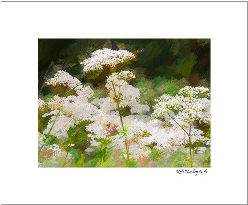 Queen Anne's Lace - 8x10 Matted Print.