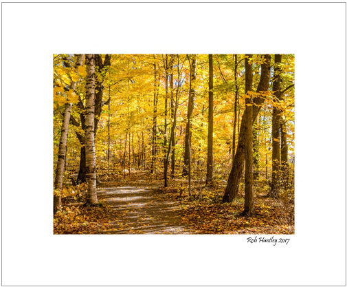 Woodland Trail at Mer Bleue. Golden leaves highlight this trail at Mer Bleue in Ottawa.  8x10 matted print.