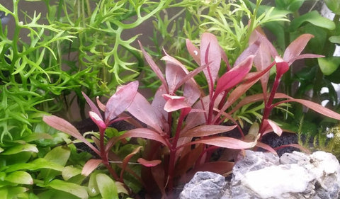 Alternanthera Reineckii Mini, Live Aquarium Plants here at Pearling Plants