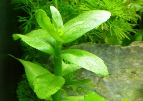 Bacopa Madagascariensis (Rare), Live Aquarium Plants