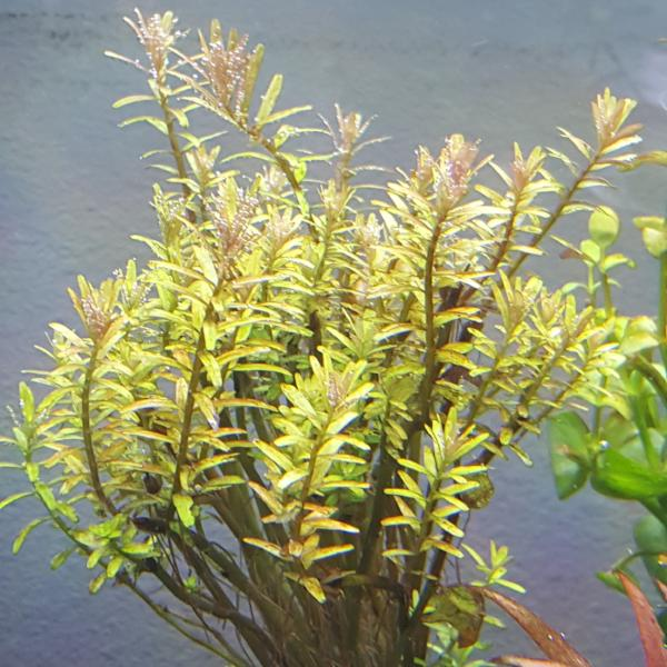 Rotala Colorata, Live Aquarium Plants