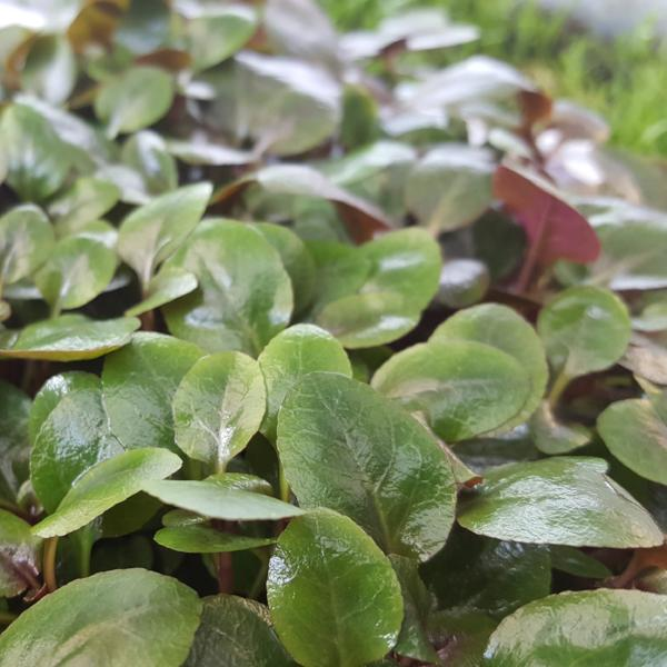 Lobelia Cardinalis, Small Form, live aquarium plants