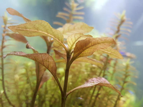 "Hygrophila Brown ""Thai"", Live Aquarium Plants"