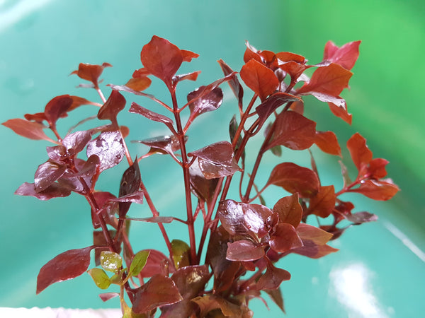 Fully Red Plants with Roots,  4 Species plus FREEbies, Live Aquarium Plants