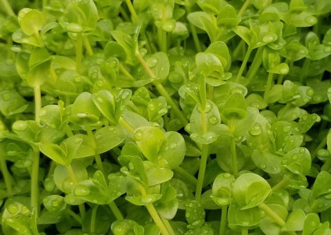 Lindernia Sp India (Rare),  Live Aquarium Plants