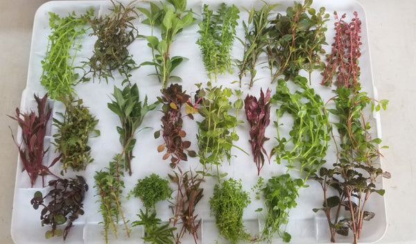 Special Package, 26 kinds, over 100 Stems + More, Live Aquarium Plants