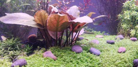 Lagenandra Meeboldii Red, Live Aquarium Plants here at Pearling Plants