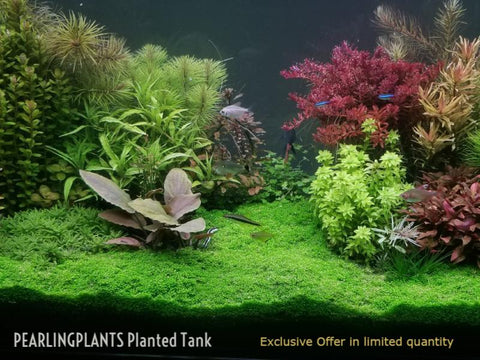 PearlingPlants EXCLUSIVE offer - Straight from the Tank, Live Aquarium Plants