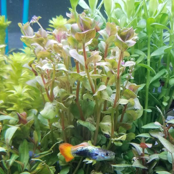 Rotala sp. Pink, Live Aquarium Plants
