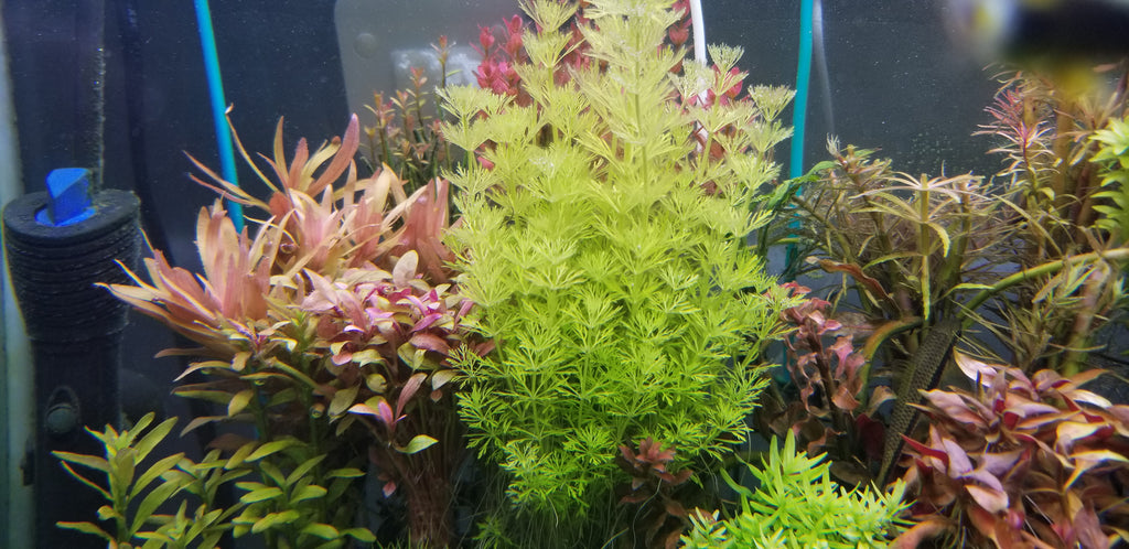 Limnophila Heterophylla, Purple Mudwort , Live Aquarium Plants