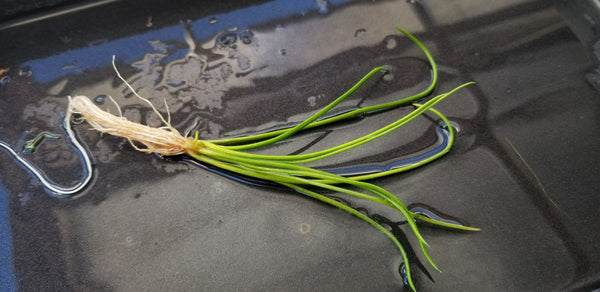 Littorella Uniflora, Live Aquarium Plants