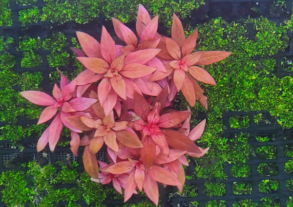 Ludwigia Peruensis Fully Red ,  Live Aquarium Plants