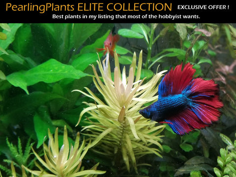 Pearling Plants ELITE COLLECTION, Live Aquarium Plants