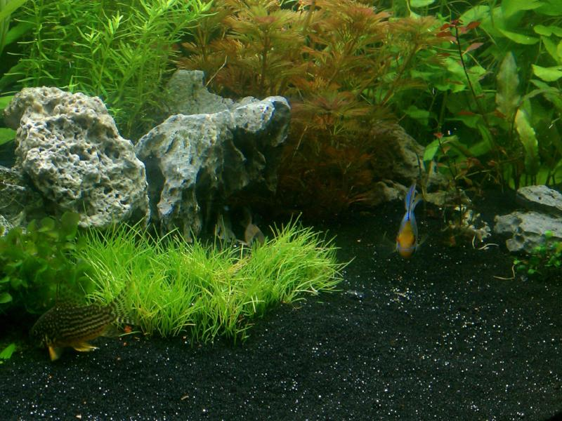 Dwarf Hairgrass (It can be Belem, Parvula or Mini) , Freshwater Live Aquarium Plants