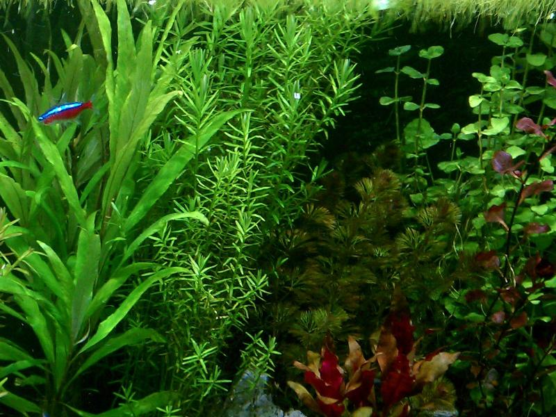 Rotala Sp Green, Live Aquarium Plants