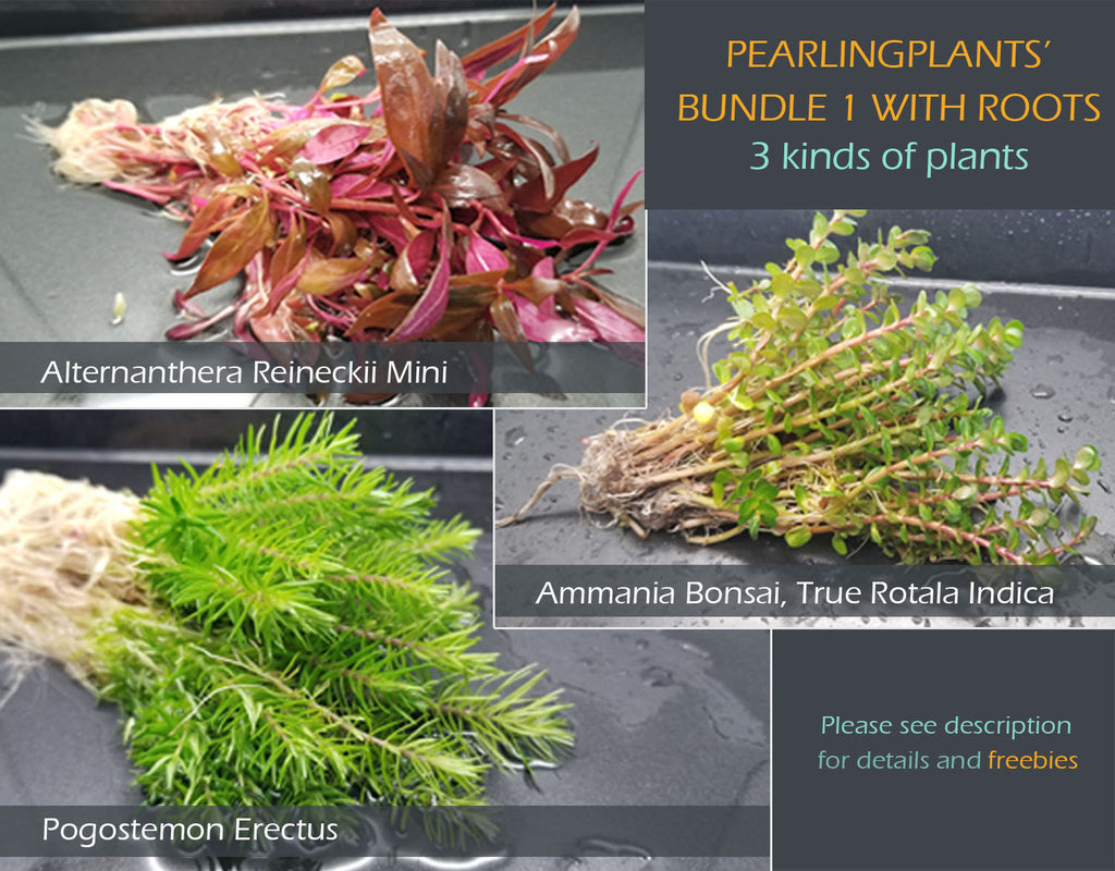 Pearling Plants' BUNDLE 1 with Roots, Live Aquarium Plants