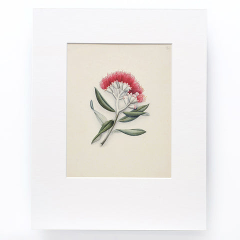Pohutakawa (New Zealand Christmas Tree) Print