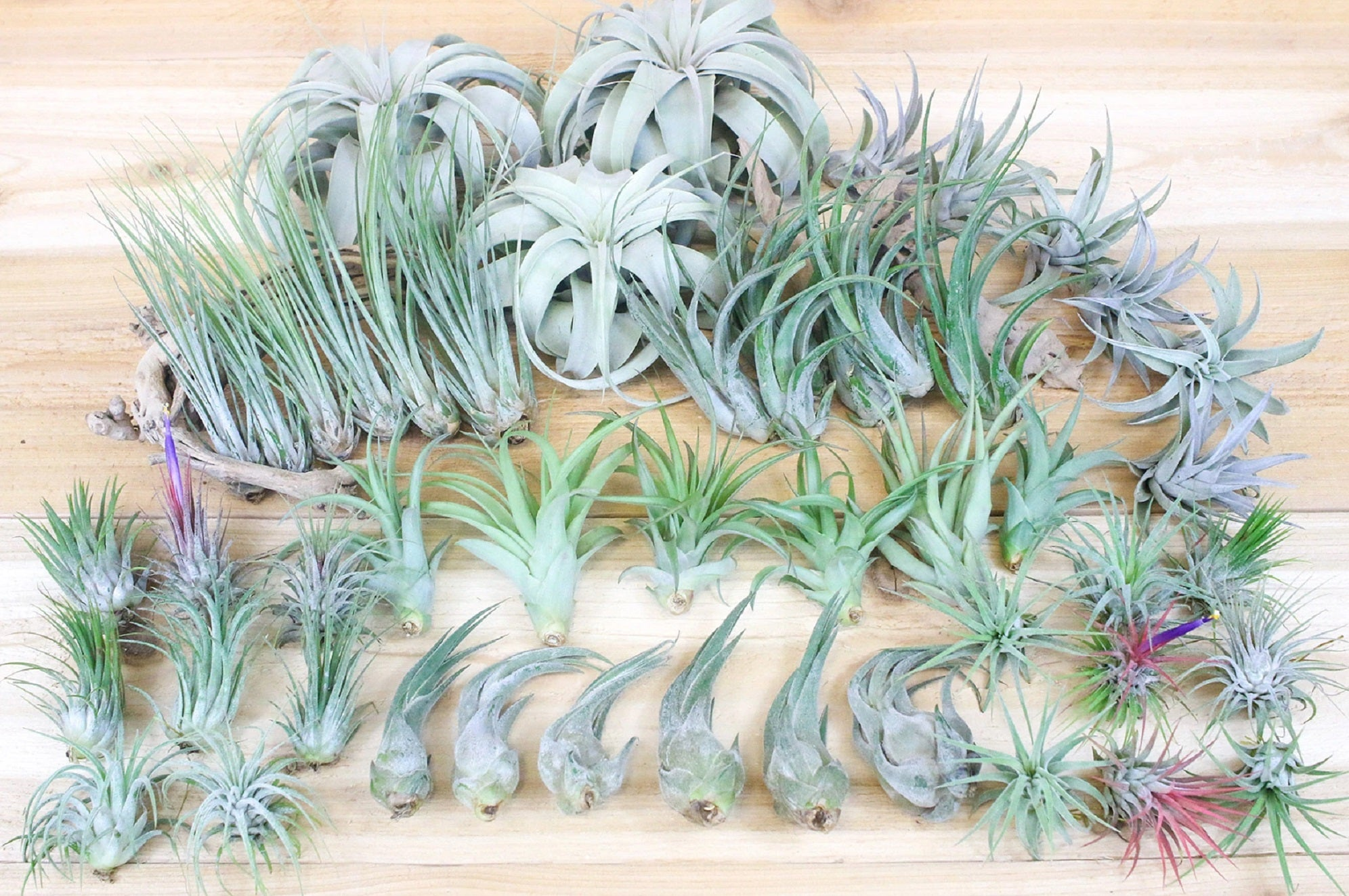 Live Air Plants bioactive