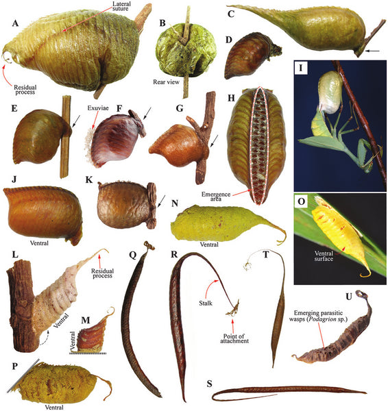Fig. 14. Egg cases of Photinaidae, Acontistidae and Acanthopidae.