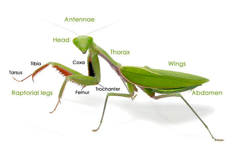 Praying Mantis Anatomy Chart