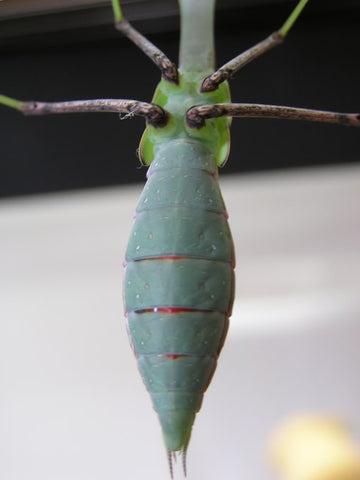 Male Giant Asian Mantis Nymph