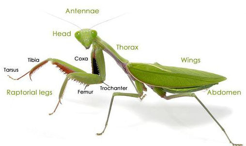 Praying mantis anatomy diagram