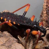 "Psytalla Horrida ""Horrid King"" Assassin Bugs Colony"