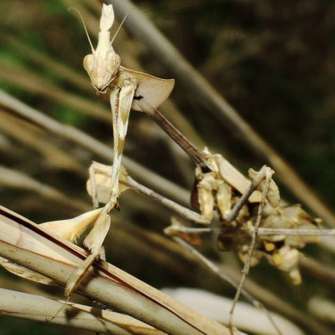 Gongylus gongylodes Violin mantis Live Insects - USMantis
