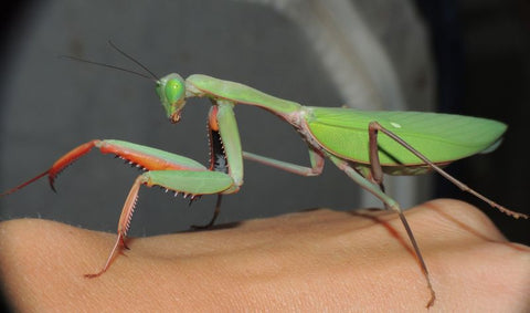 Hierodula majuscula - Giant Rainforest mantis Live Insects - USMantis