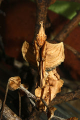 Idolomantis diabolica sale- Devil Flower mantis Care Sheet.