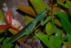 Rhombodera Basalis Giant Shield Mantis