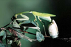 Hierodula membranacea Giant Asian Mantis