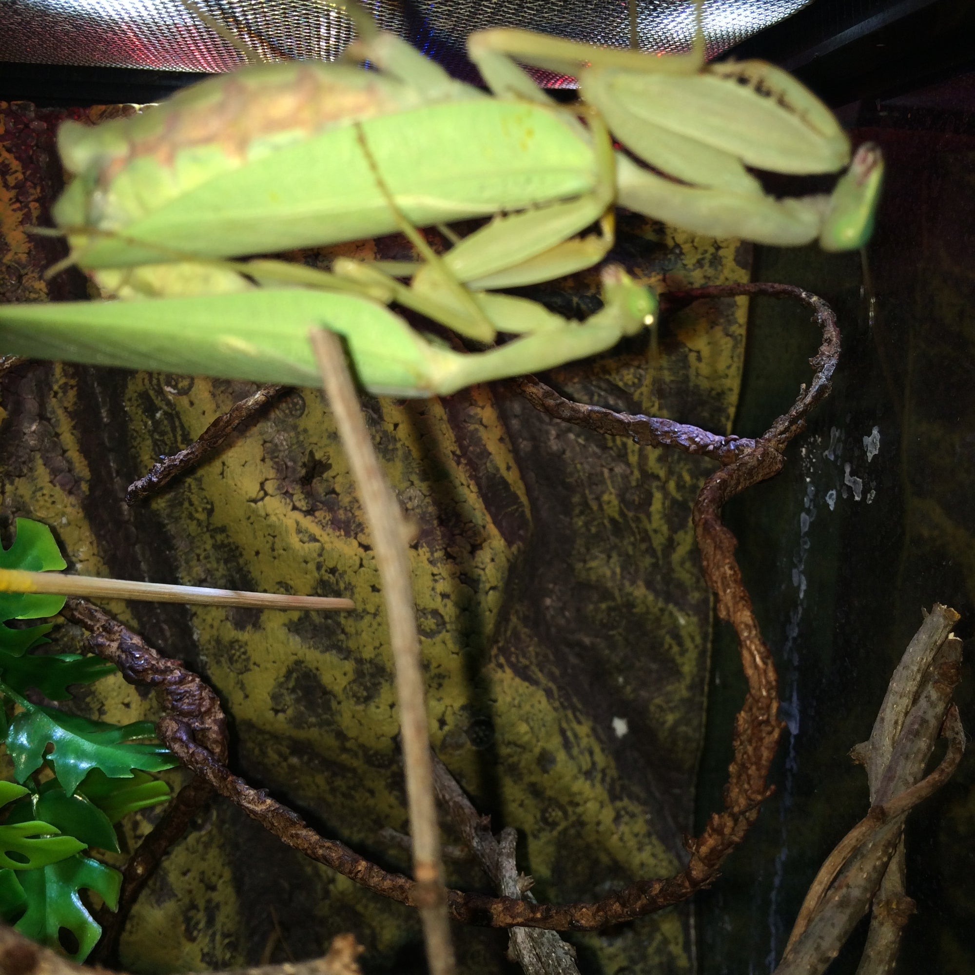 Sphodromantis lineola Giant African Mantis ooths and live, Ooth - USMantis.com