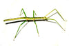 Medauroidea extradentata  - Annam Walking Stick, Live Insects - USMantis.com